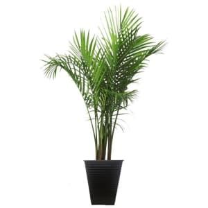"""Costa Farms 40"""" Majesty Palm Tree for $47"""