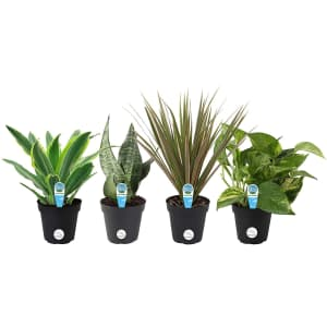 Costa Farms Clean Air Live House Plant Collection 4-Pack for $24