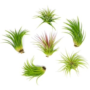 Plants for Pets Lowlight Air Plant 6-Pack for $14