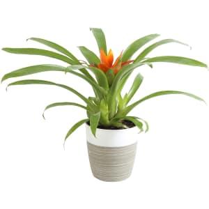 "Costa Farms 12"" Flowering Bromeliad for $19"
