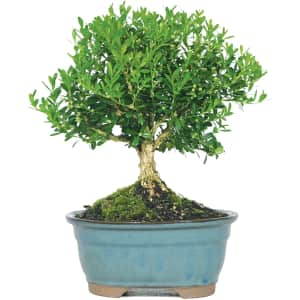 Brussel's Bonsai Live Harland Boxwood Outdoor Bonsai Tree for $26