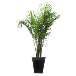 "Costa Farms 40"" Palm Tree w/ Planter for $47"