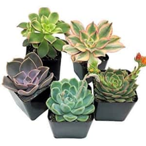 Succulent Plants 5-Pack for $14