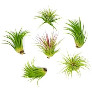 Plants for Pets Tropical Tillandsia Low Air Plant 6-Pack for $16
