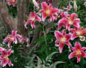 Giant Stargazers Oriental Lily Bulbs from $10 + $4 s&h