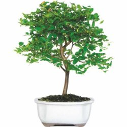 Jaboticaba Bonsai Tree for $28