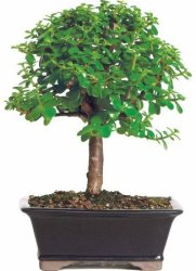 Jade Bonsai Tree for $28