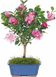Camellia Bonsai Tree for $24